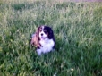 Cavalier King Charles Spaniel, 10, tri